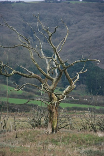 Dead tree, The Marsh, Porlock