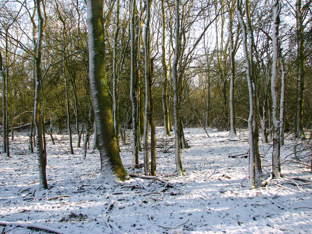 Snowy trees in woodland south of Seething Airfield