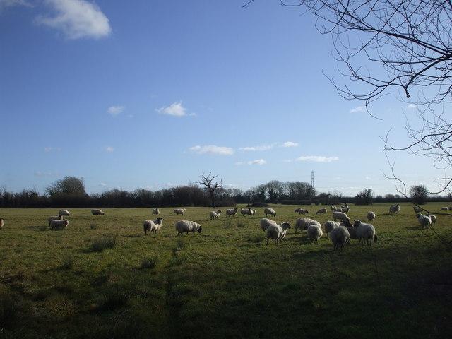 Sheep near Broadstreet Common, Newport