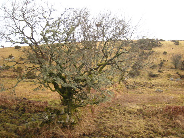 Moorland tree on a field boundary