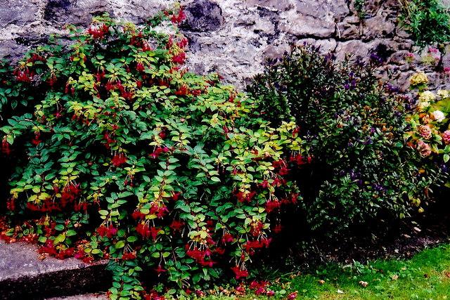 Castletown - Plant along castle garden wall