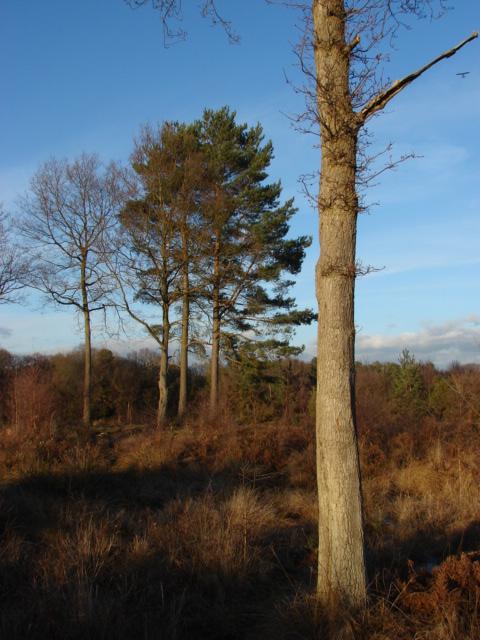 Horsell Birch