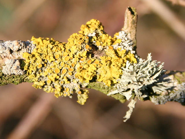 Lichen on elder twigs