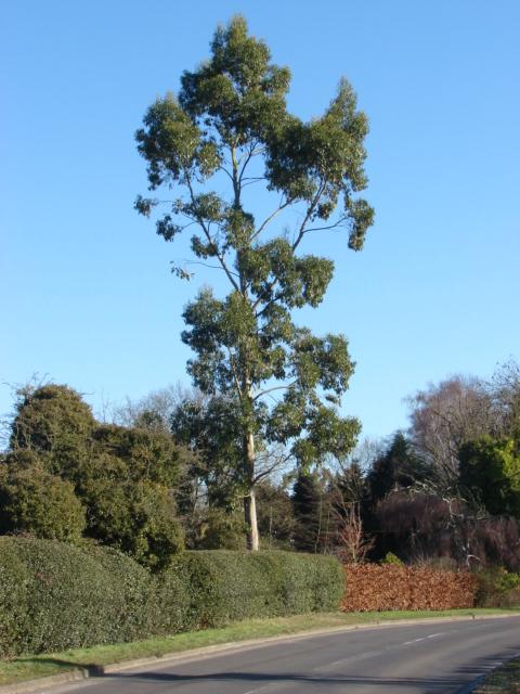Eucalyptus tree, Burrowhill