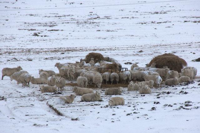 Sheep feeding station, Baltasound