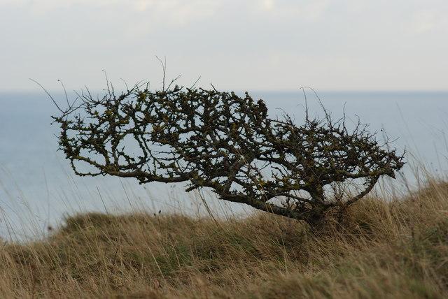 Hawthorn on the Cliff, Near Eastbourne