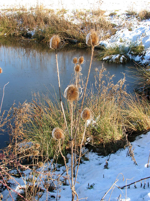 Teasels by pond south of Highfield Farm