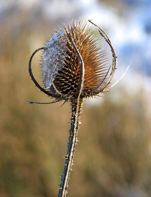 A frosty teasel