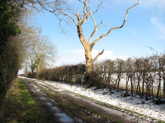 Dead tree in hedge beside Highfield Lane