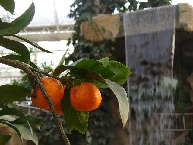 Citrus Fruit, Wisley