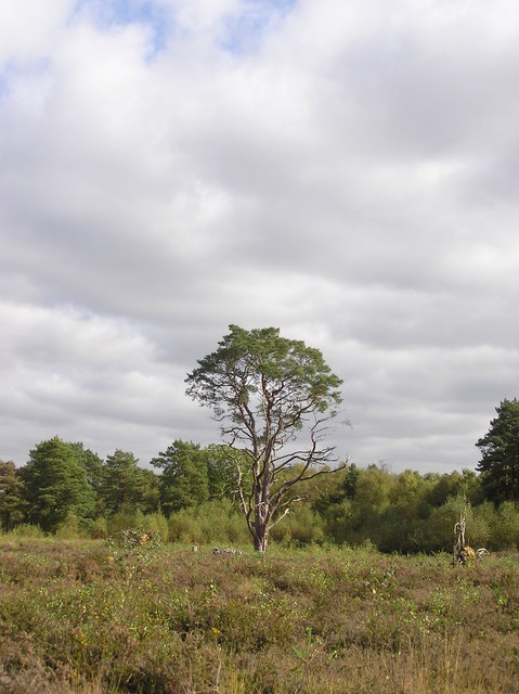 Scots Pine on Bagmoor Common