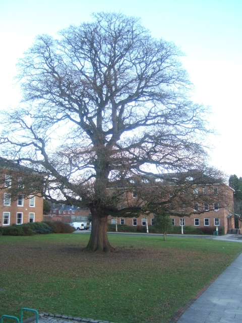 Lucombe Oak, County Hall, Exeter