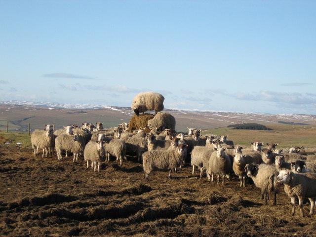 Sheep at Hartside