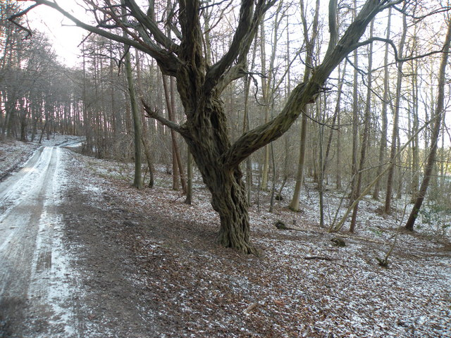 Shrivelled-up Tree in Croxdale Wood
