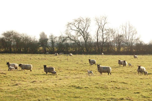 Sheep with lambs south of Kites Hardwick