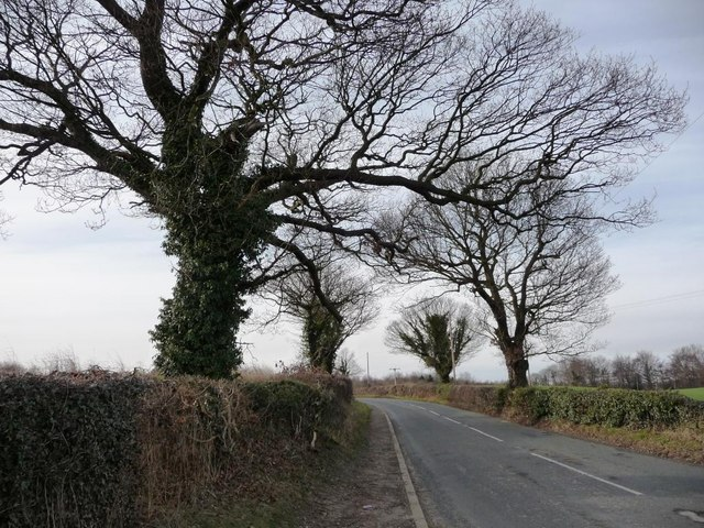 Winter trees with ivy, on Bretton Lane