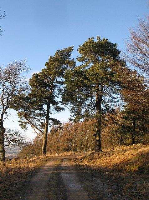 Pines, Ledcrieff Wood