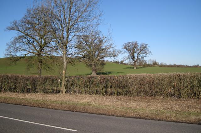 Three oaks in a field