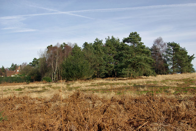 Tree clump, Ashdown Forest