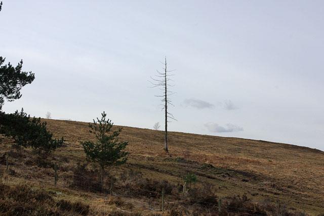Blasted pine