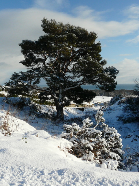 Tree on the hill above Golspie