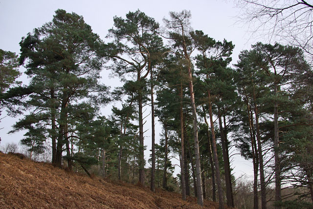 Pines on a rise