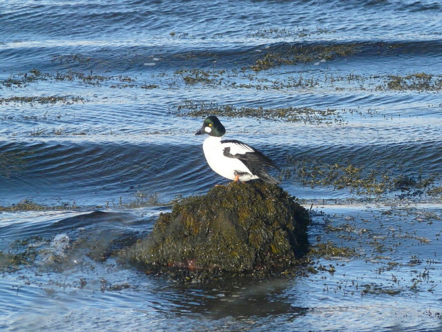 Goldeneye at Loch Fleet