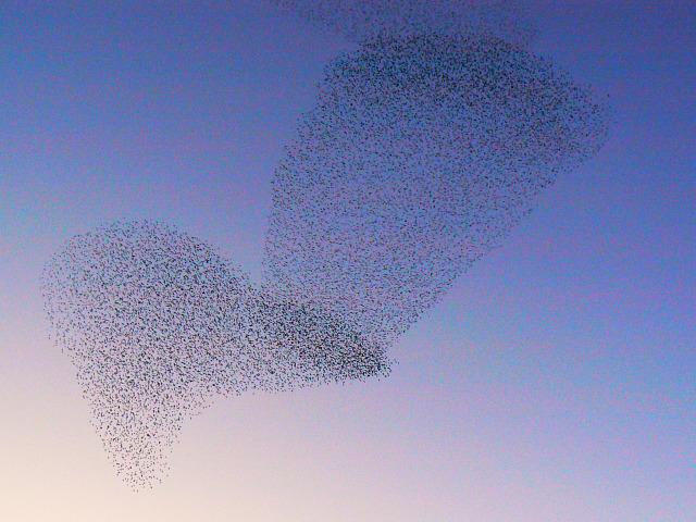 Starlings over Barnfield, Swindon (3)