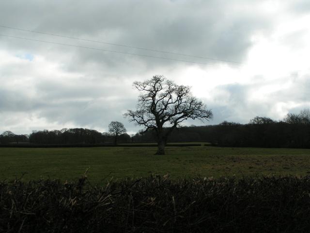 Tree in a field near Marsh Green