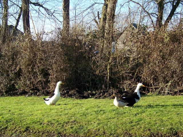 Ducks, Upper Inglesham