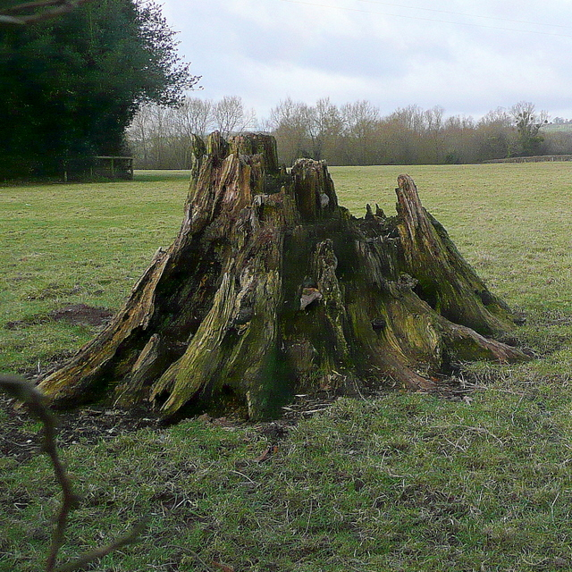 Old stump at Llanvihangel Gobion
