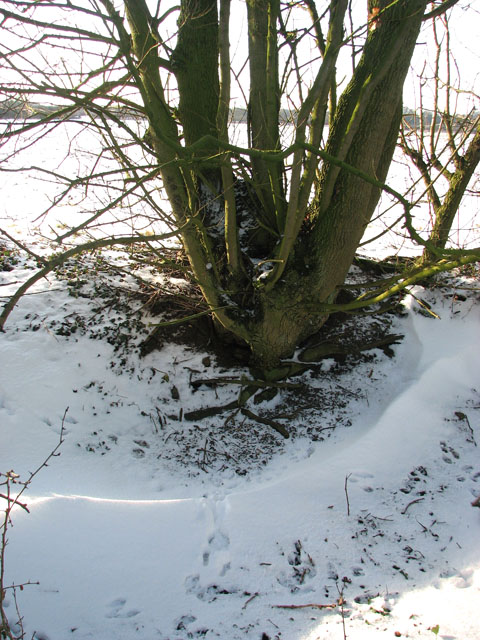 Snowdrift at the foot of a coppiced tree