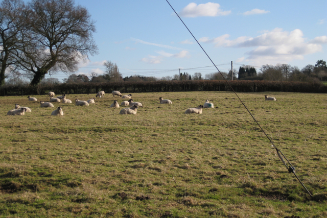 A shot of sheep, Manor Farm