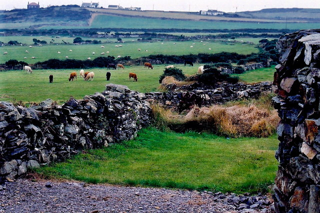 Mull Hill - Footpath north of hill - Cattle grazing in field