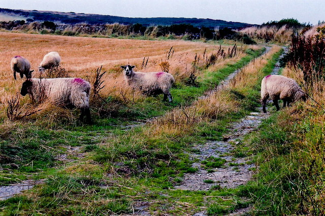 Mull Hill - Sheep along dirt road on north side of the hill - Sheep