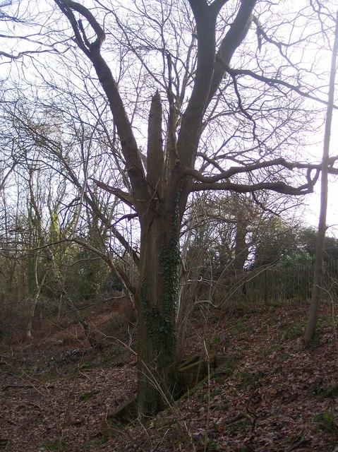 Tree in Waghorn's Wood