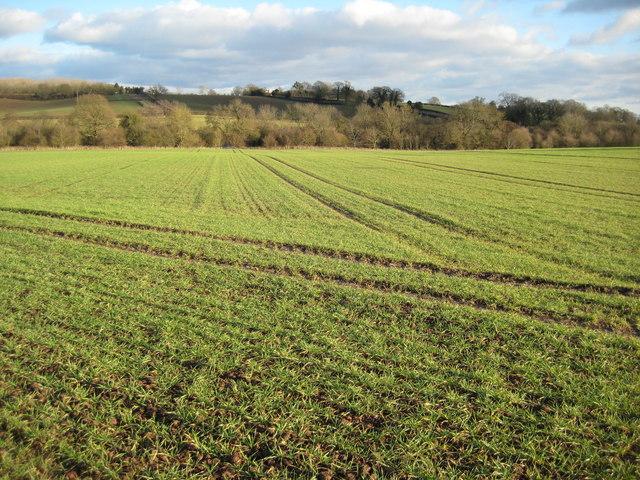 Winter cereals near Alden's Farm