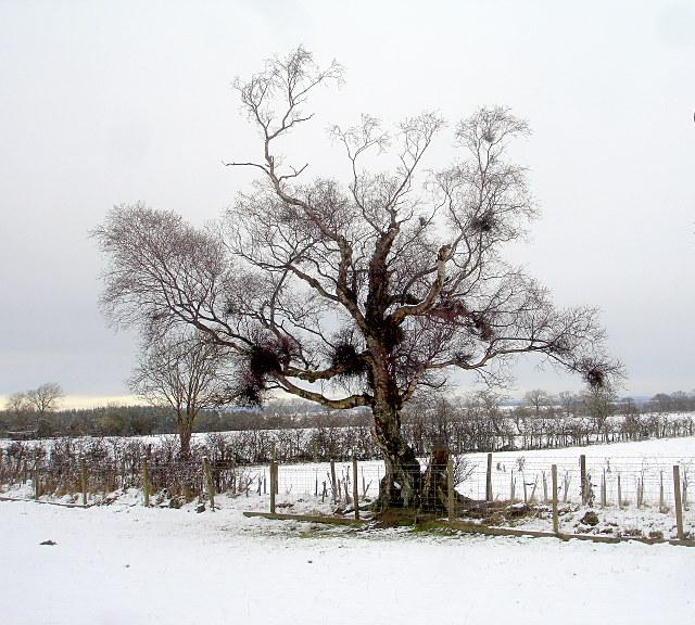 The oldest birch in the village
