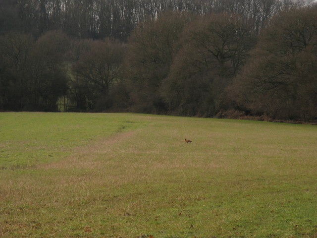 Fox on the run to Stanford's Wood