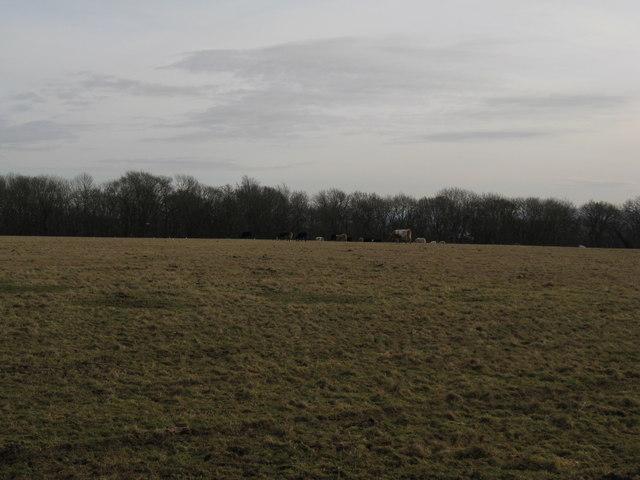 Cattle grazing near London Copse