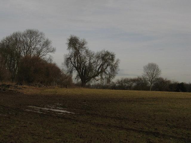 Veteran Ash tree north of Knowe Top Farm
