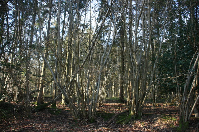 Coppiced trees, Paupersdale Wood
