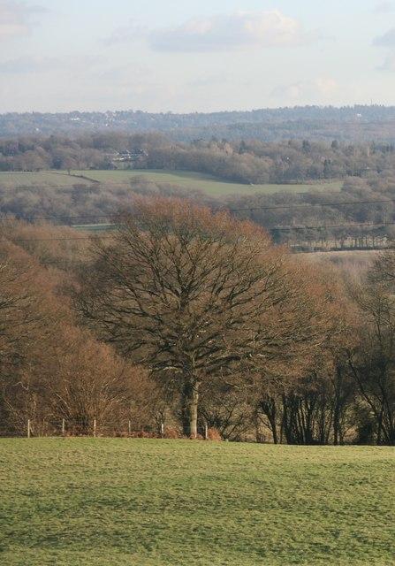 Large tree near Highams Wood