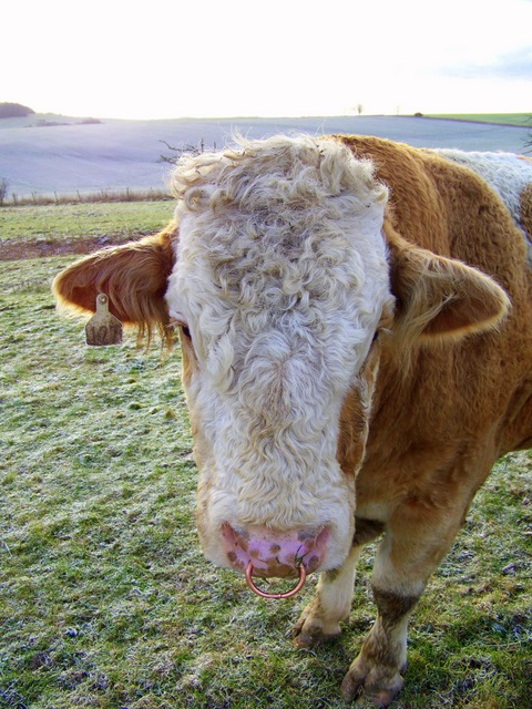 Simmental bull, Tidpit