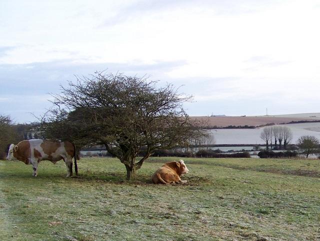 Simmental bulls, Tidpit