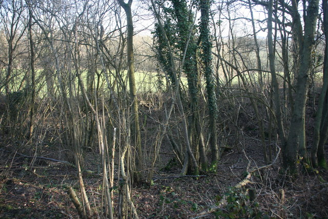 Coppiced trees by the Vanguard Way