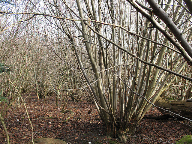 Coppicing in Downs View Wood