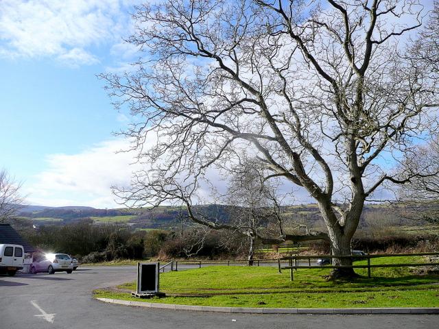 Oak tree by the A4042