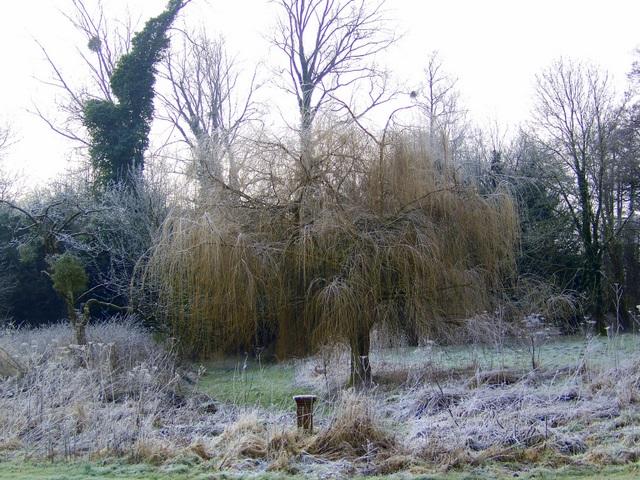 Willow beside the Allen