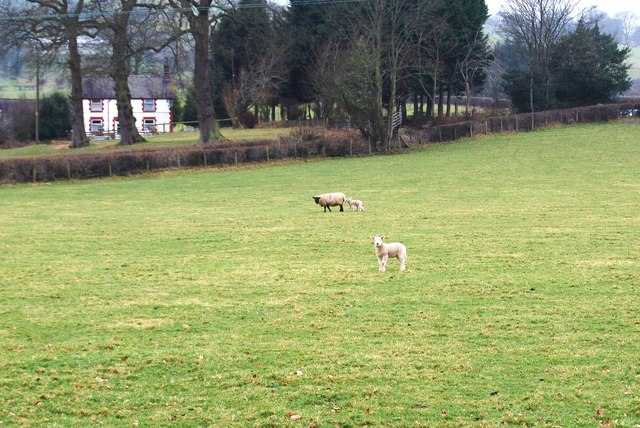 New lambs near Tyn-y-caeau